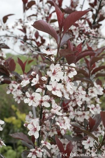 Prunus cistena (Śliwa dziecięca) - C5 PA