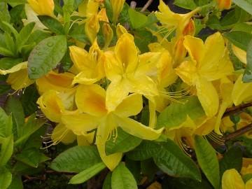 Rhododendron 'Goldtopas' (Azalia wielkokwiatowa) - C4