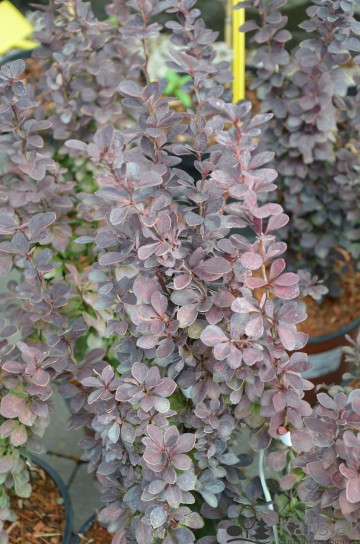 Berberis thunbergii 'Orange Tower' (Berberys Thunberga)  - C3