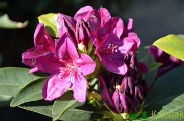 Rhododendron 'Polarnacht' (Różanecznik) - C4