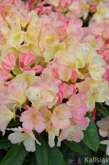 Rhododendron 'Percy Wiseman' (Różanecznik) - C4