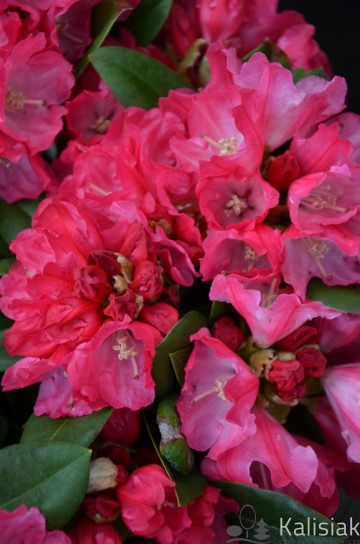 Rhododendron 'Morgenrot' (Różanecznik) - C4