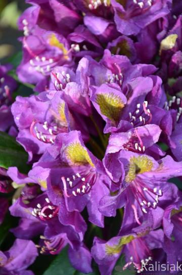 Rhododendron 'Marcel Menard' (Różanecznik) - C4