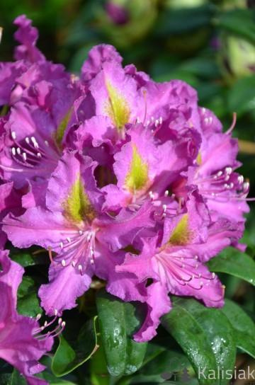 Rhododendron 'Libretto' (Różanecznik) - C4