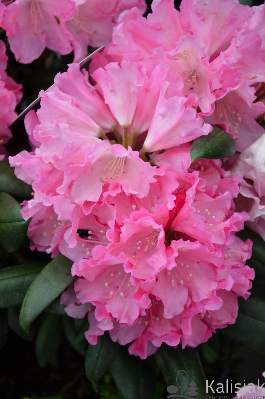 Rhododendron 'Kalinka' (Różanecznik) - C4