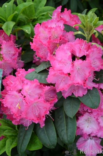 Rhododendron 'Germania' (Różanecznik) - C4