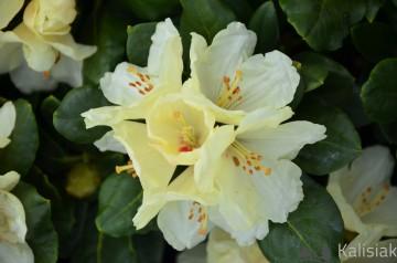 Rhododendron 'Flava' (Różanecznik) - C4