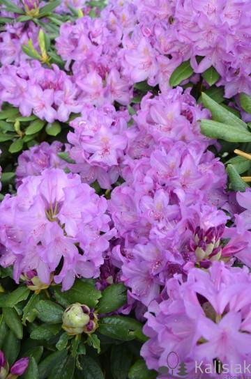 Rhododendron 'Catawbiense Grandiflorum' (Różanecznik) - C4