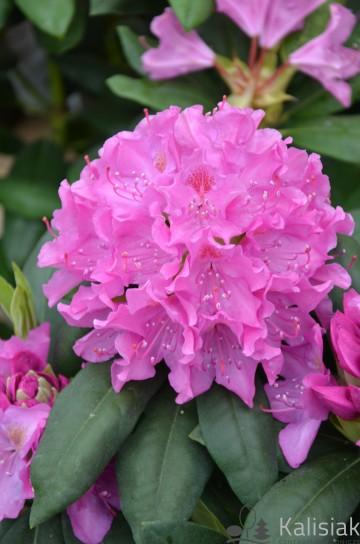Rhododendron 'English Roseum' (Różanecznik) - C4