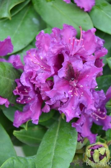 Rhododendron 'Azurro' (Różanecznik) - C7,5
