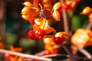 Celastrus orbiculatus 'Diana'