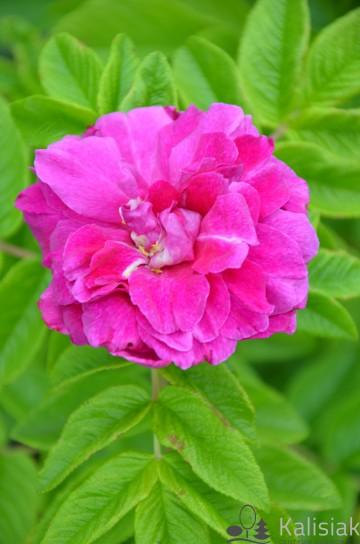 Rosa rugosa 'Hansa' (Róża pomarszczona) - C3