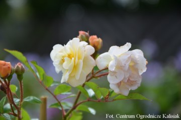 Rosa 'Ghislaine de Feligonde' (Róża pnąca) - C2