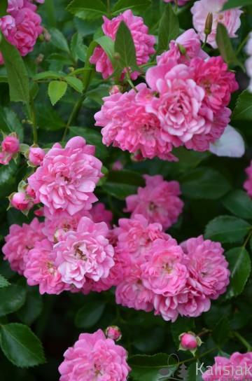 Rosa 'Lovely Fairy' (Róża okrywowa) - C1,5