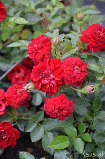 Rosa 'Miniature Red' (Róża okrywowa) - C1,5