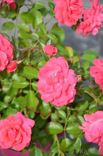 Rosa 'Elfrid' (Róża okrywowa) - C2