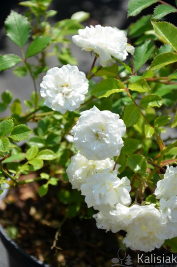 Rosa 'Alba Meidiland' (Róża okrywowa) - C1,5