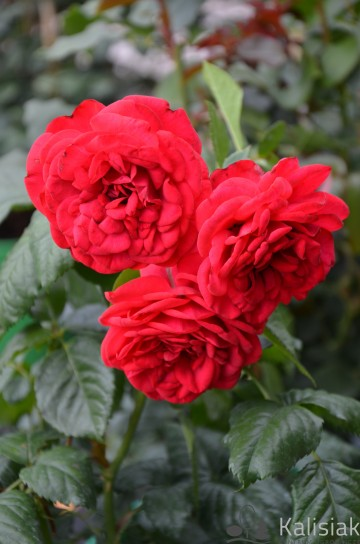 Rosa 'Piano' (Róża nostalgiczna) - C4