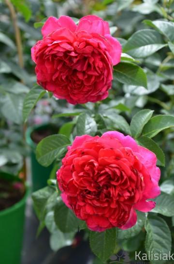 Rosa 'Soul' (Róża nostalgiczna) - C4