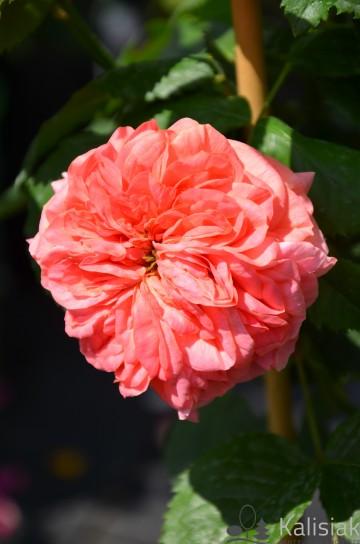 Rosa 'Marry Ann' (Róża nostalgiczna) - C4