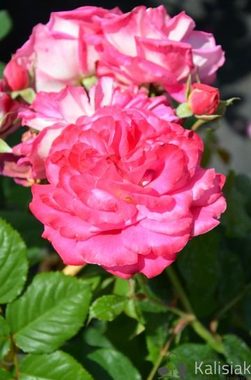 Rosa 'Maxim' (Róża nostalgiczna) - C4
