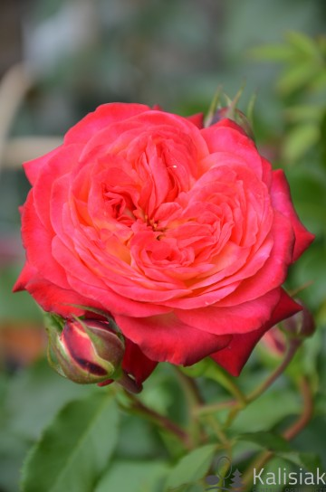 Rosa 'Midsummer' (Róża nostalgiczna) - C4