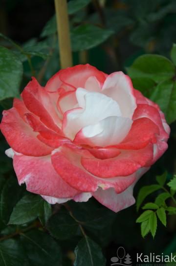 Rosa 'Nostalgia' (Róża nostalgiczna) - C4