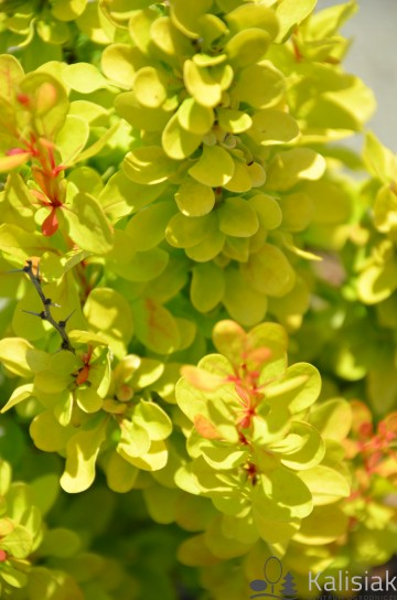 Berberis thunbergii 'Golden Rocket' (Berberys Thunberga)  - C3