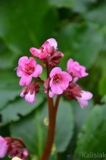 Bergenia 'Spring Fling' (Bergenia) - C3