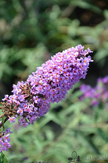 Buddleja davidii 'Border Beauty' (Budleja Davida)  - C3