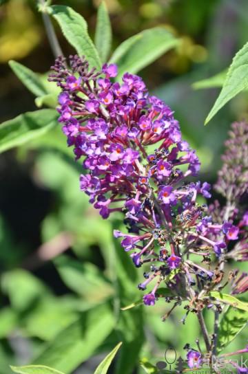 Buddleja davidii 'Nanho Purple' (Budleja Davida) - C3