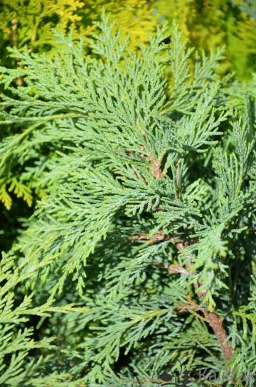 Chamaecyparis lawsoniana 'Globosa' (Cyprysik Lawsona) - C2