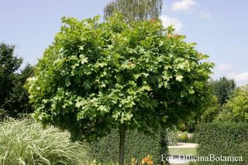 Quercus palustris 'Green Dwarf' (Dąb błotny) - C5