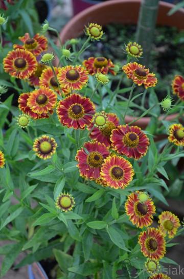 Helenium autumnale 'Mariachi Bandera' (Dzielżan jesienny) - C2