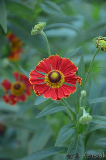 Helenium autumnale 'Poncho' (Dzielżan jesienny) - C2