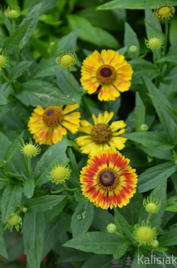 Helenium autumnale 'Mariachi Fuego' (Dzielżan jesienny) - C2