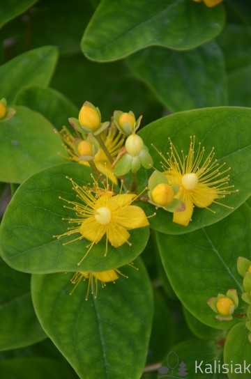 Hypericum inodorum MAGICAL BEAUTY 'Kolmbeau' (Dziurawiec bezwonny) - C5