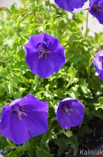 Campanula carpatica 'Pearl Blue' (Dzwonek karpacki) - C2