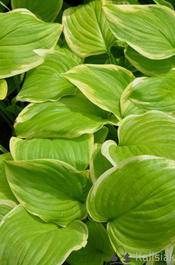 Hosta 'Fragrant Bouquet' (Funkia)  - C1,5