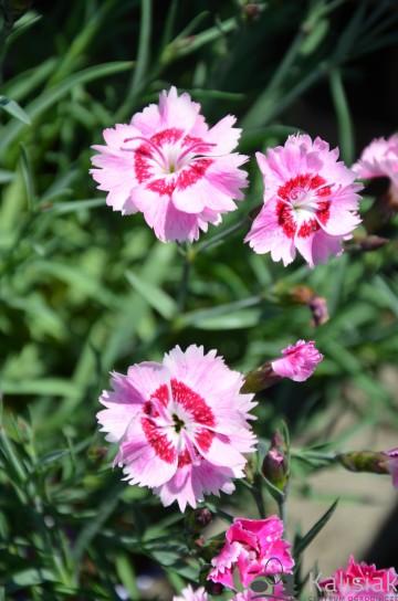 Dianthus plumarius 'Dixie Rose Picotee' (Goździk postrzępiony) - C2