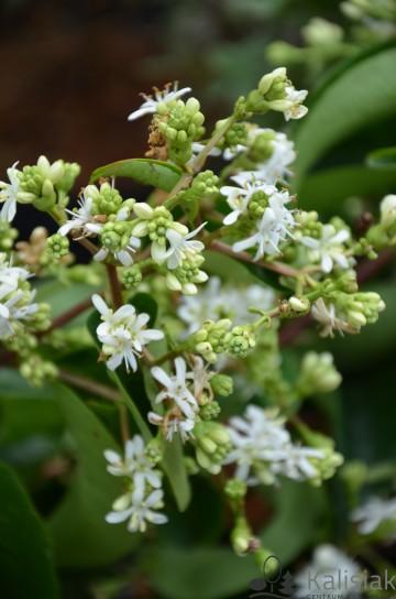 Heptacodium miconioides (Heptakodium chińskie) - C2