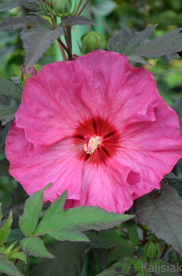 Hibiscus Summerific 'Berry Awesome' (Hibiskus bagienny)  - C5
