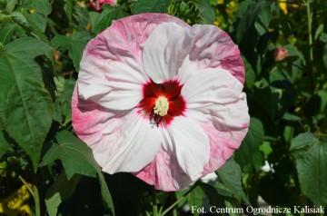 Hibiscus Summerific 'Cherry Cheesecake' (Hibiskus bagienny) - C5