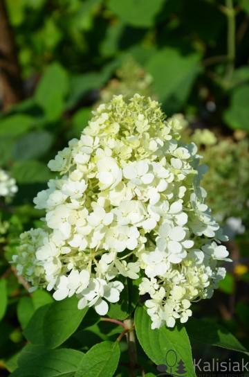 Hydrangea paniculata BOBO 'ILVOBo' (Hortensja bukietowa) - C4