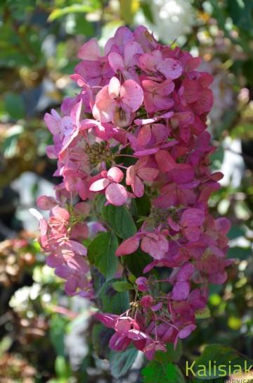Hydrangea paniculata DIAMANT ROUGE 'Rendia' (Hortensja bukietowa) - C3