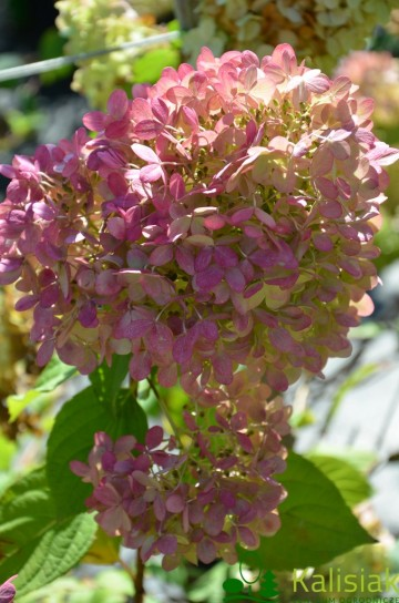 Hydrangea paniculata 'Limelight' (Hortensja bukietowa) - C3