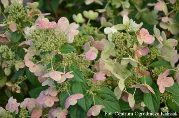 Hydrangea paniculata MAGICAL FIRE 'Bokraplume' (Hortensja bukietowa) - C5