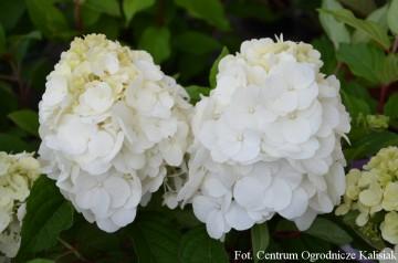 Hydrangea paniculata MAGICAL MONT BLANC 'Kolmamon' (Hortensja bukietowa) - C6