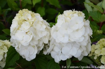 Hydrangea paniculata MAGICAL MONT BLANC 'Kolmamon' (Hortensja bukietowa) - C2