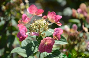 Hydrangea paniculata MEGA MINDY 'ILVOMindy' (Hortensja bukietowa) - C3